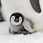 pinguino_bebe-1920x1200