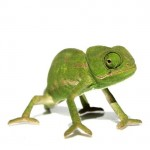Reptiles_Camaleon