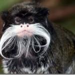mono con bigote blanco