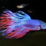 peces-beta