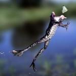 rana cazando una mariposa