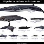 tabla de cetaceos
