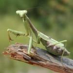 mantis, aracnido