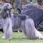 Galgo-afgano-perro