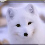 national-geographic-polar-animals-screensaver-7